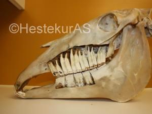 Her se man hvor store tennene er. Det er 6 kinntenner på hver side, og de går helt inn til under øyehulen.
