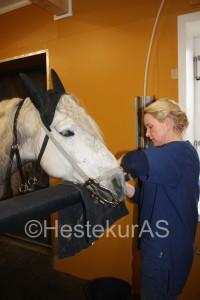 Hesten er sedert og får på seg munnjern.